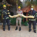 Cobra píton albina de mais de 2 metros é capturada dentro de casa, em Aparecida de Goiânia